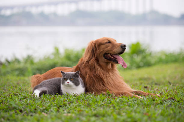 Golden Retriever dogs and British short-haired cats play on the grass – zdjęcie