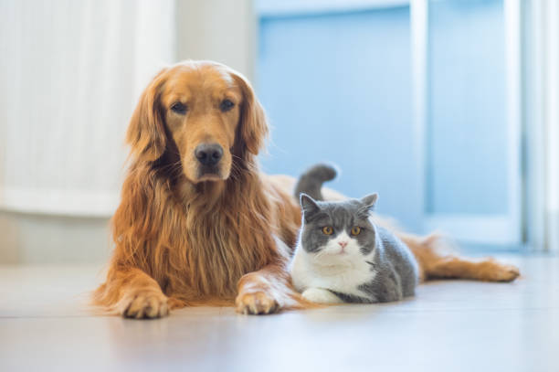 Golden Retriever dogs and cats get along amicably – zdjęcie