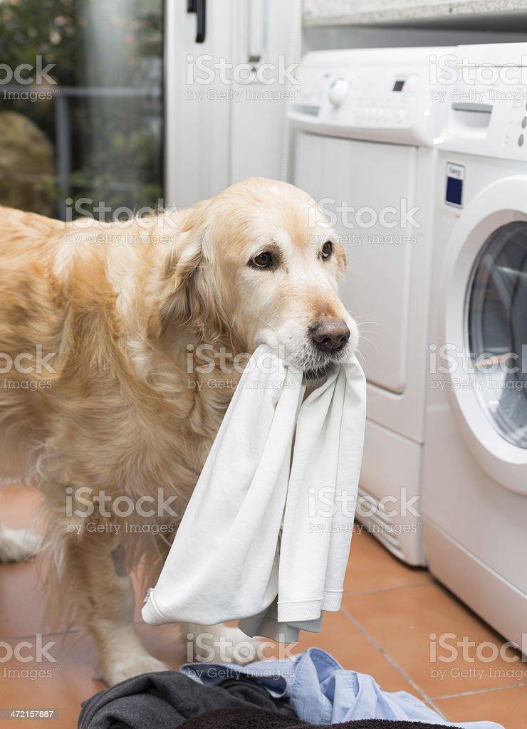 Golden Retriever doing laundry stock photo