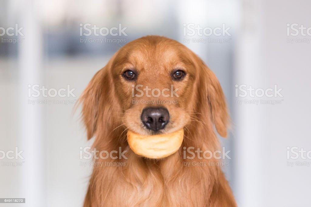Golden Retriever comendo rosquinhas - foto de acervo