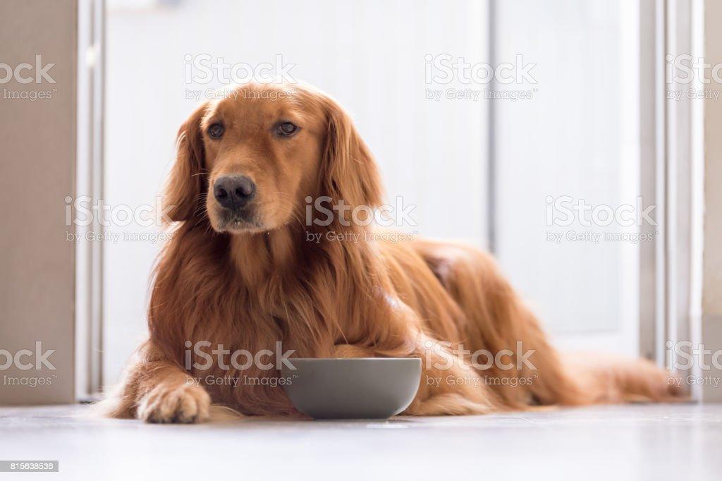 Golden Retriever comer - foto de acervo