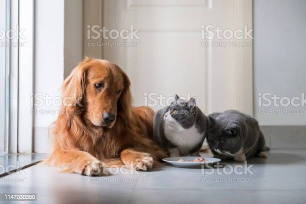 Golden retriever eats with british shorthair picture id1147030350?b=1&k=6&m=1147030350&s=612x612&h=dg4c752xj m7 gtqwbqzg6z3p2nmctbxe0mndl8z fs=