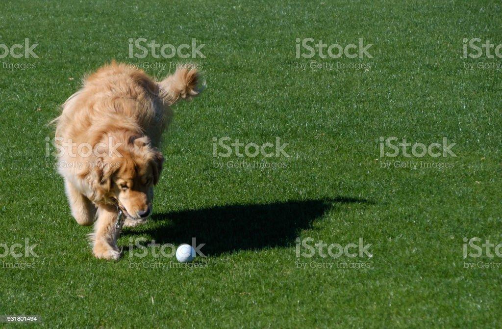 Golden Retriever Fetching stock photo
