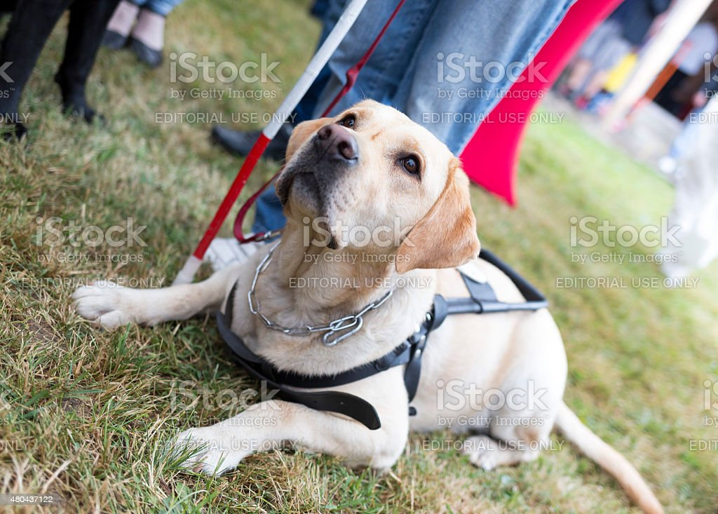 Golden retriever guide dog stock photo