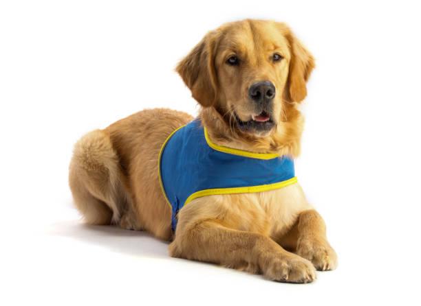 Golden Retriever, Hund – Foto