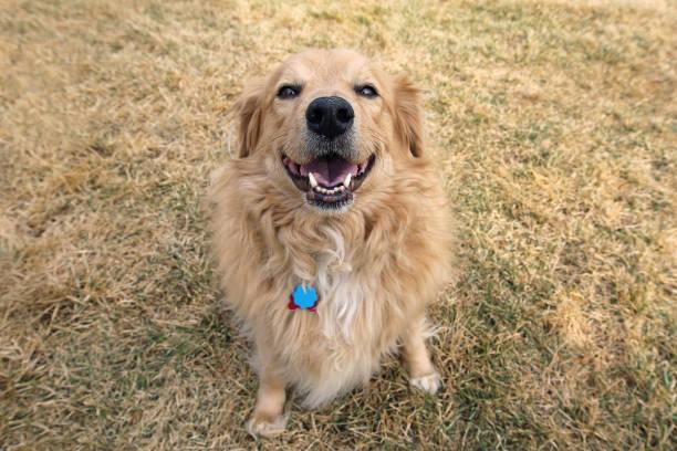 glücklicher hund golden retriever - hunde aus dem tierheim stock-fotos und bilder