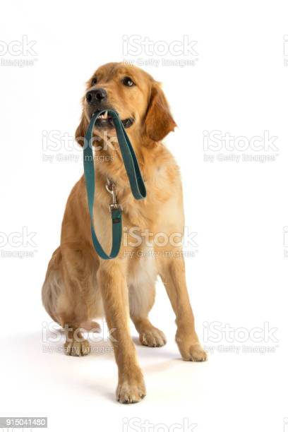 Golden retriever hold his leash in the mouth picture id915041480?b=1&k=6&m=915041480&s=612x612&h=d2m3vrrnrfz5yl2f7v mxiv55lycekdddpowvinxidk=