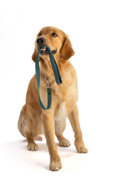 Golden Retriever seine Leine in den Mund halten – Foto