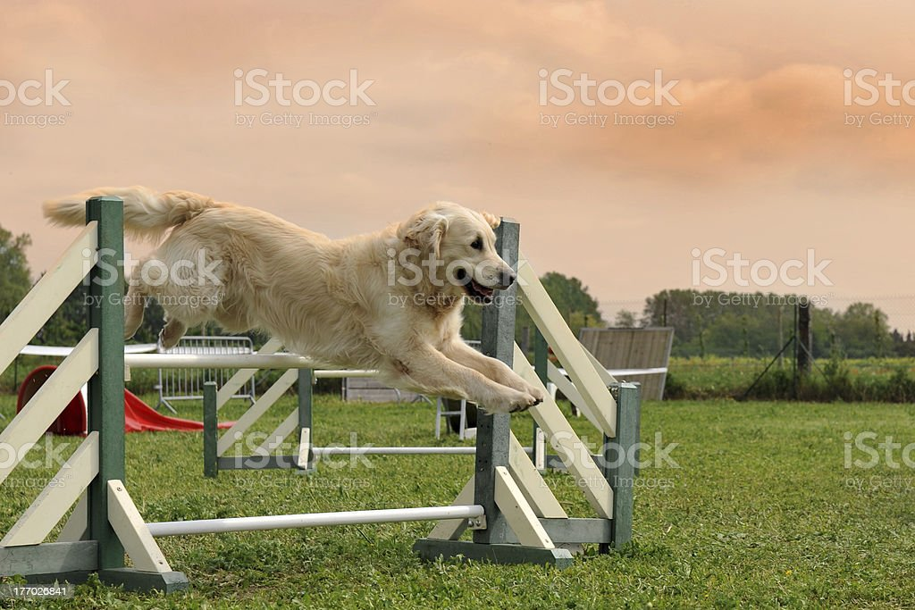 golden retriever dans Agilité - Photo