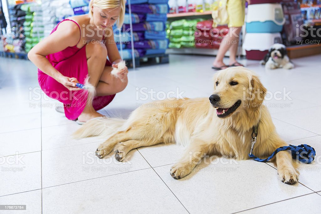 Golden retriever in pet store...owner is brushing him royalty-free stock photo