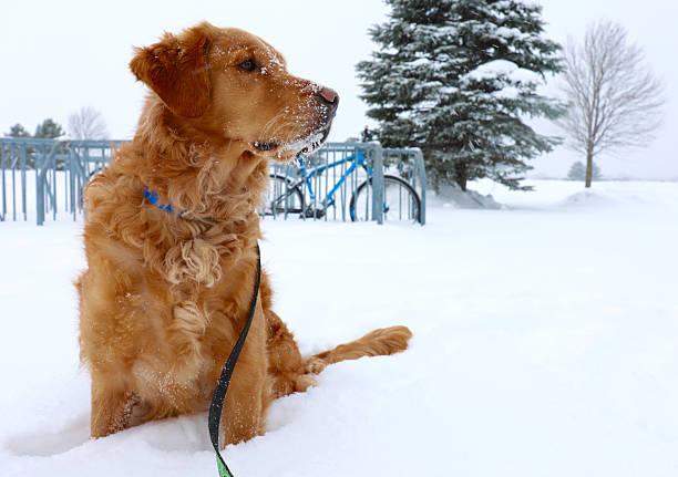 golden retriever im schnee - hundeleinen halter stock-fotos und bilder