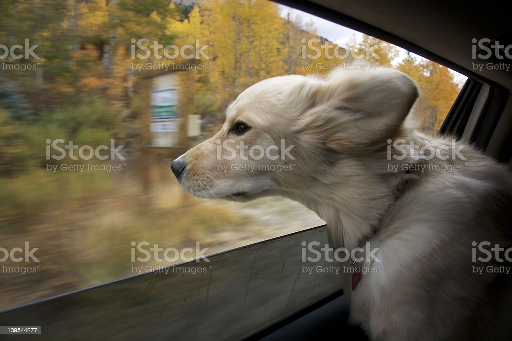 Golden Retriever in the Car stock photo