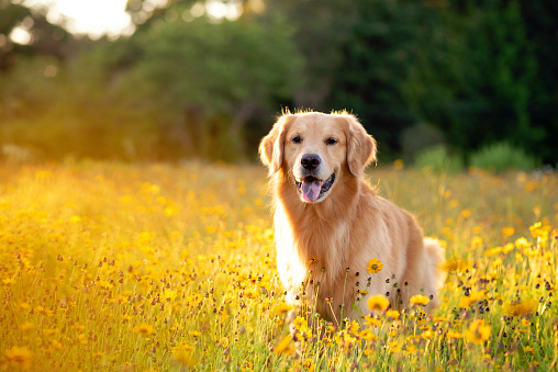 Young Golden Retriever posing in flowers. Beautiful dog with black eye Susans blooming. Retriever at sunset in a field of flowers and golden light.