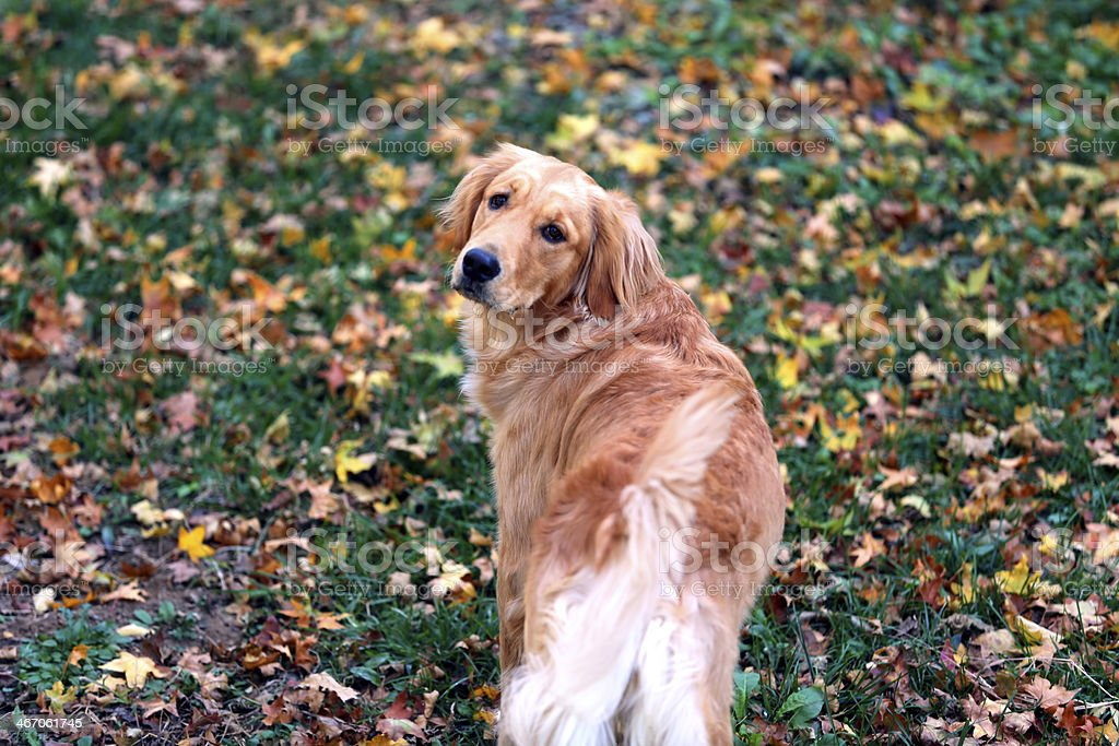 Golden retriever in the grass royalty-free stock photo