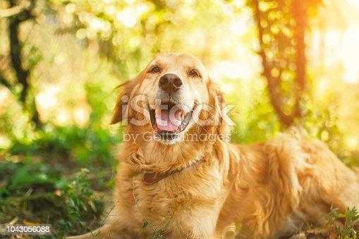 Springtime, Meadow, Dog, Golden Retriever, Happiness