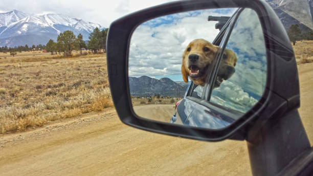 Golden Retriever in the Rear View Mirror