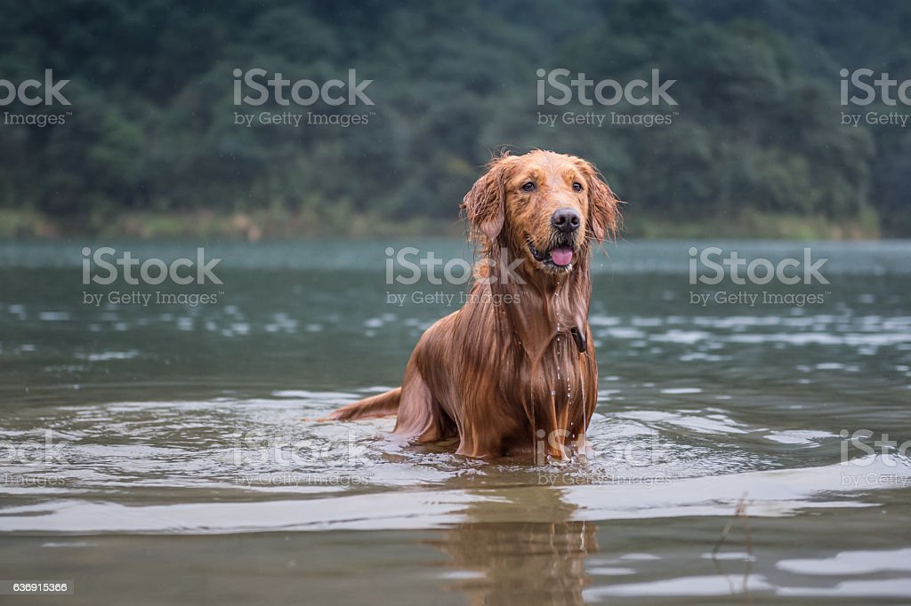 golden retriever in the river - foto de acervo