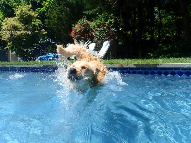 Golden retriever jumping into pool 5 picture id1155434317?b=1&k=6&m=1155434317&s=612x612&w=0&h=npv7zov8xcnt5qh89hnfygrxao1ogxvd8plmnnaz3gc=
