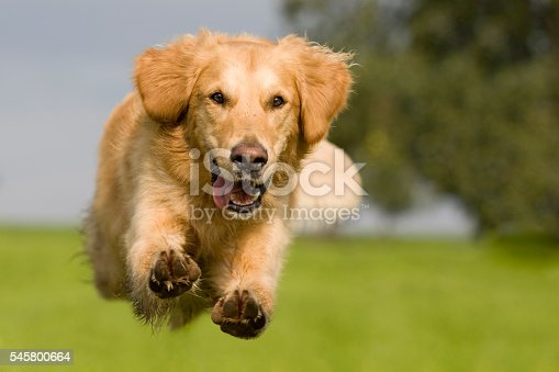 Golden Retriever jumping over a green meadow with blue sky