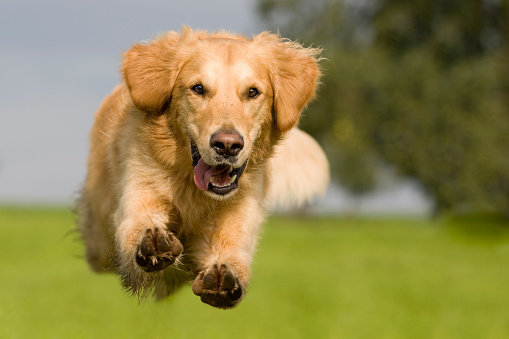 Golden Retriever jumping over a green meadow