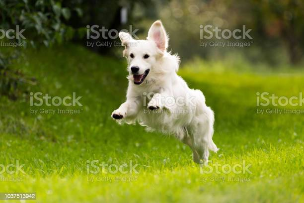 Golden retriever jumping while running picture id1037513942?b=1&k=6&m=1037513942&s=612x612&h=hfahoee8pr3sszypr210ip38dzda j8qnn3msvcvppa=