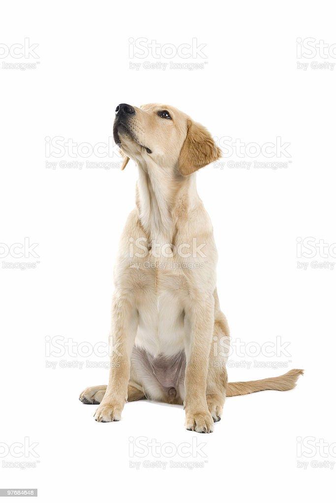 Chiot golden retriever du labrador - Photo