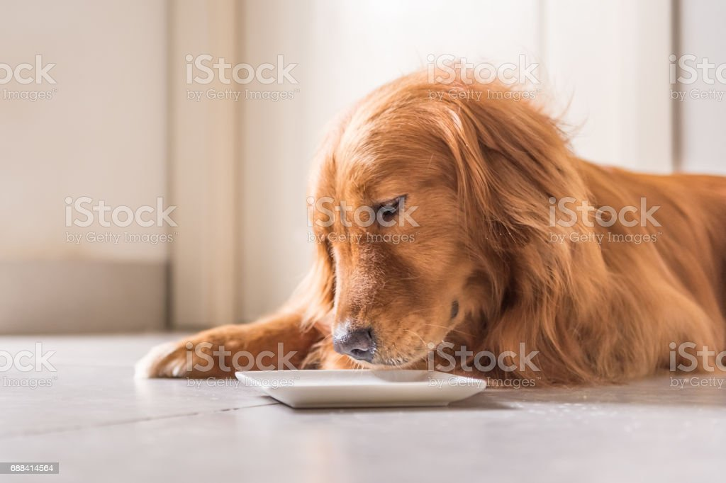 Golden Retriever, Lay On The Floor To Eat Royalty Free Stock Photo