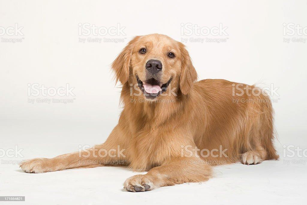 Golden Retriever laying down stock photo