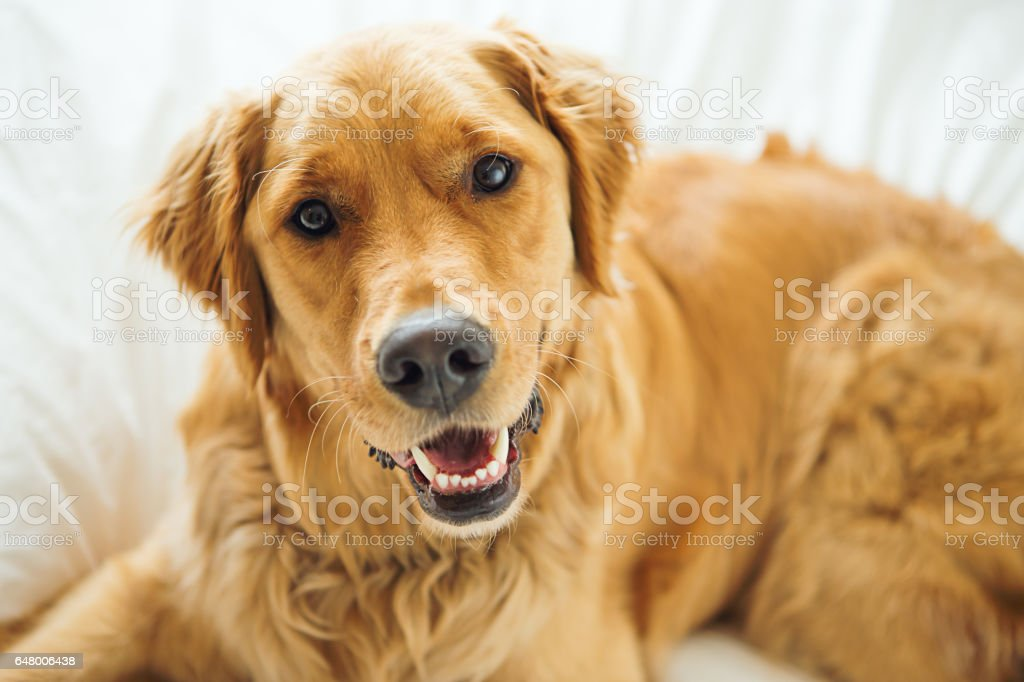Golden Retriever laying in bed stock photo