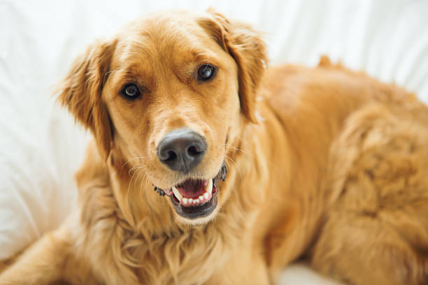 golden retriever laying in bed - golden retriever stock photos and pictures