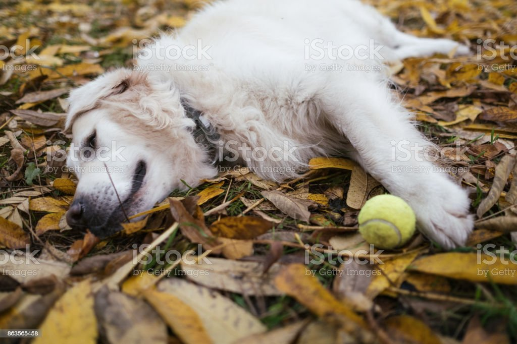 Golden retriever laying in the autumn park, resting after game stock photo