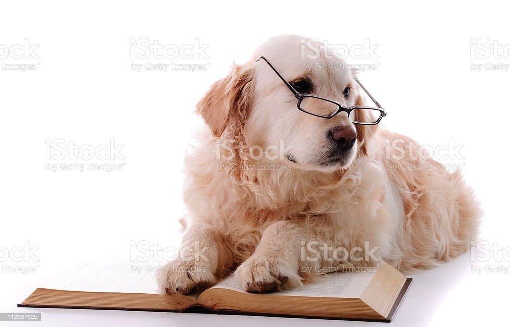 Golden retriever learning royalty-free stock photo