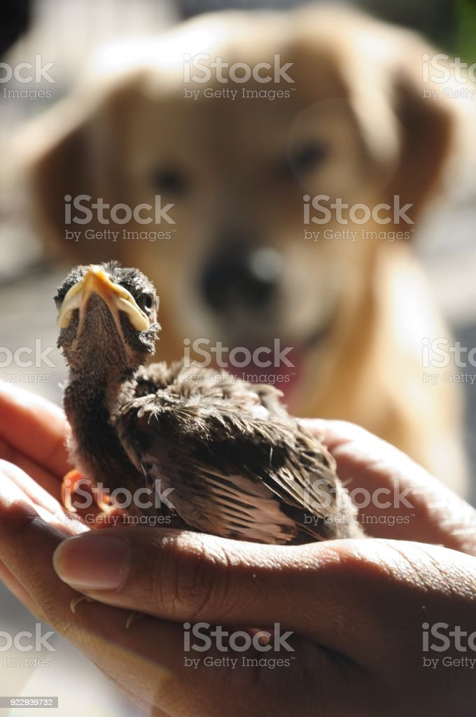 Golden Retriever look at bird on woman hand, Vertical color image