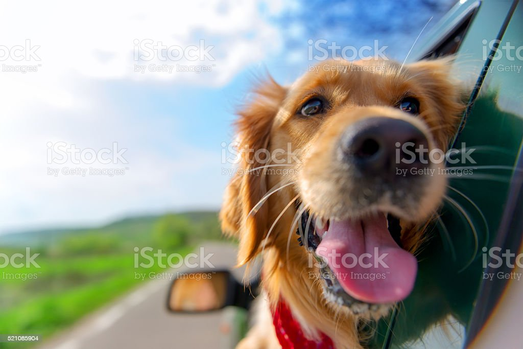 Golden Retriever regardant par la fenêtre de la voiture - Photo