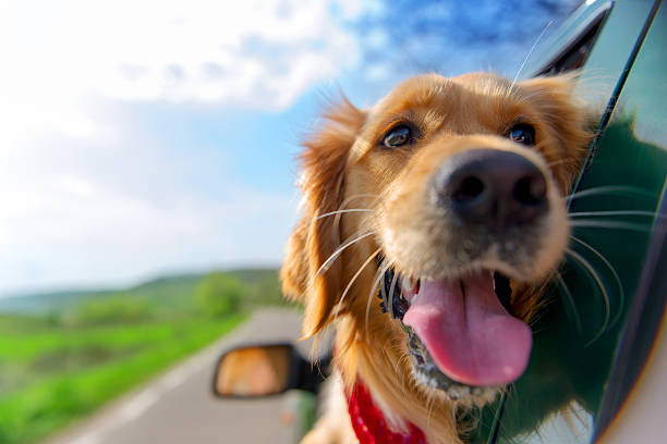 golden retriever looking out of car window - dog stock pictures, royalty-free photos & images