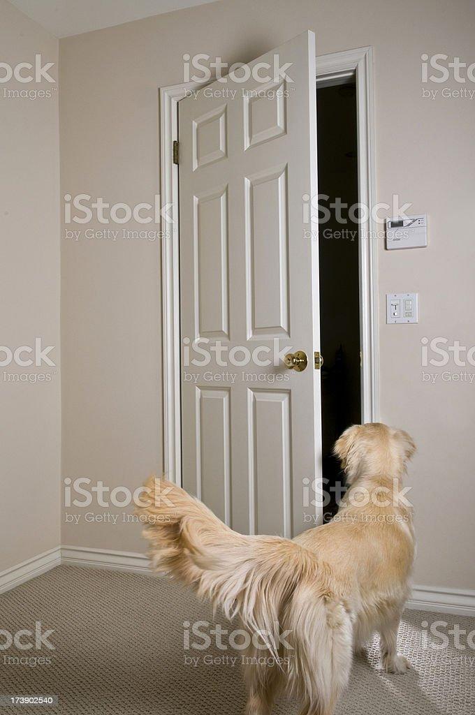 Golden Retriever Looking Outside Door Stock Photo Download Image Now Istock