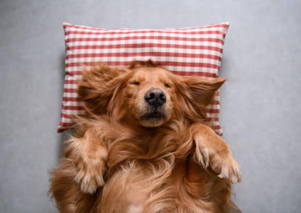 Retriever dourado deitado para dormir - foto de acervo