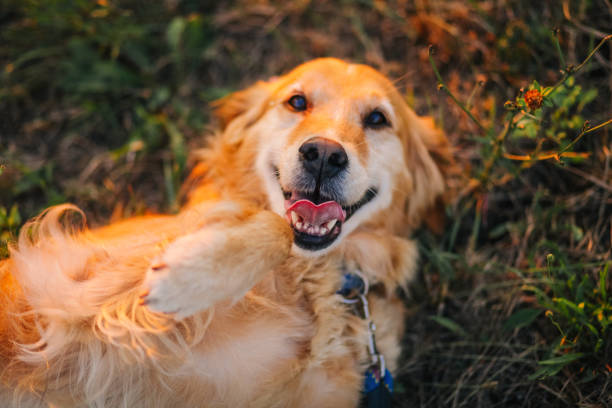 Golden retriever lying on back Serbia, Golden Retriever, Dog, Yellow Labrador Retriever, Lying Down lying on back stock pictures, royalty-free photos & images