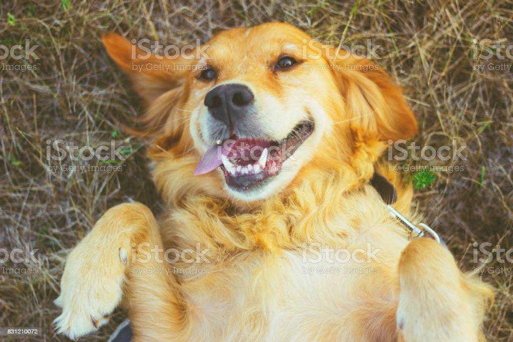golden retriever lying on back stock photo