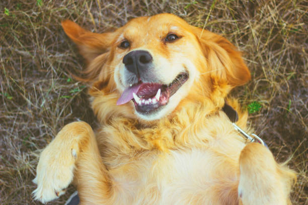 golden retriever lying on back - golden retriever stock photos and pictures