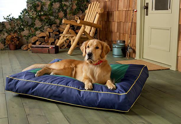 golden retriever auf dem bauch liegen blue dog bed auf der veranda. - katzen kissen stock-fotos und bilder