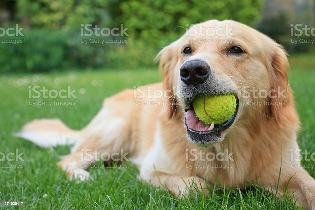 Golden retriever lying on grass with tennis ball in mouth stock photo