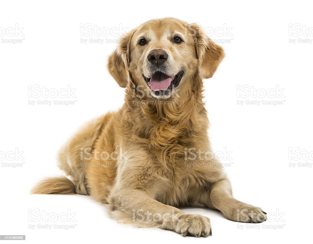 Golden Retriever lying, panting, 11  years old, isolated stock photo