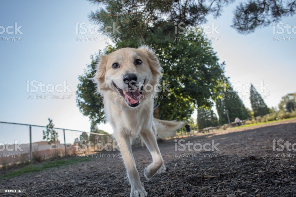 Golden Retrievermix Labrador Hund Stockfoto Und Mehr Bilder Von
