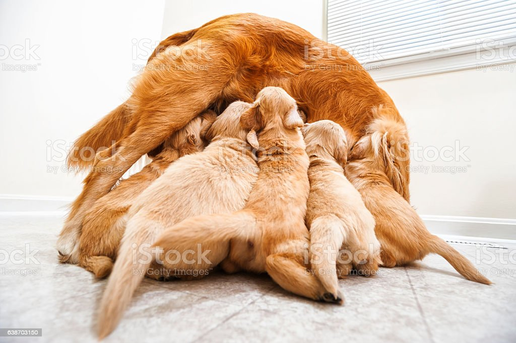 Golden Retriever Nursing Her 4 Week Old Puppies While Standing Stock