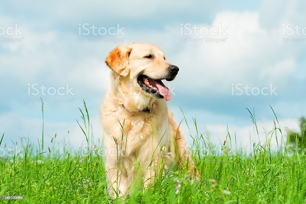 Golden Retriever on a meadow stock photo