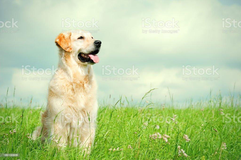 Golden Retriever on a meadow stock photo