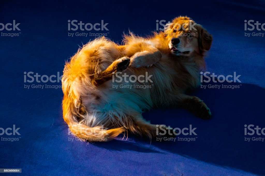 Golden Retriever on Blue stock photo
