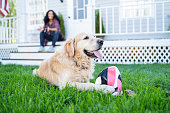 Golden Retriever on front yard
