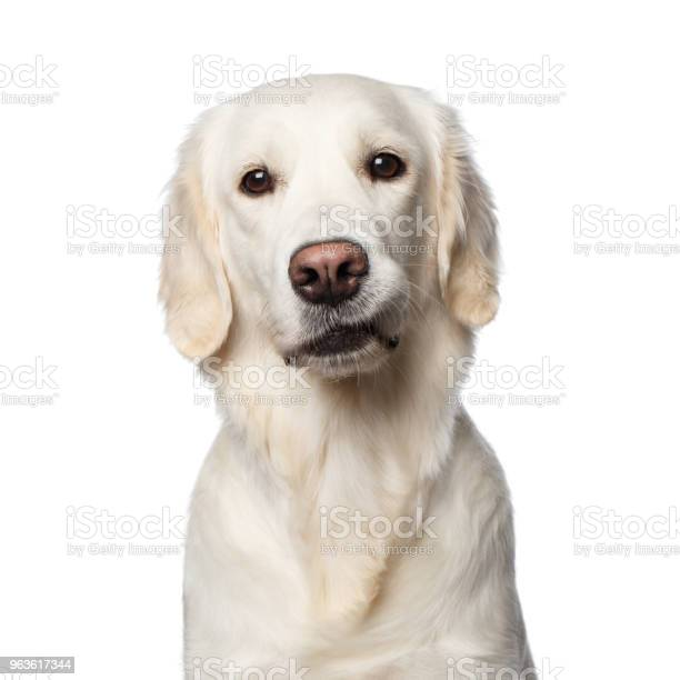 Golden retriever on isolated background picture id963617344?b=1&k=6&m=963617344&s=612x612&h=txm4w88kx2ud5qotyfbkzqhqaiwkdkxeuncyy60ieso=